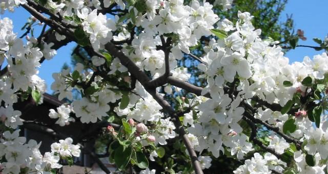 "<!--:es-->Celebración de ""I. Manzanos en flor"" a partir del 27 de abril.<!--:--><!--:eu-->""I. Sagastiak Loretan"" ospakizuna apirilaren 27tik aurrera.<!--:-->"