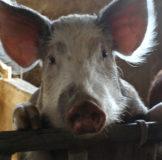 10 Santa Klara Zumaia cerdo txerria pig