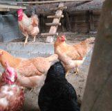 11 Santa Klara Zumaia gallina oiloa chicken