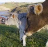 7 Santa Klara Zumaia Vaca Behia cow 3