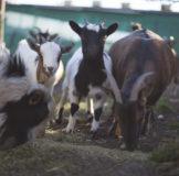 9 Santa Klara Zumaia cabras auntzak goat